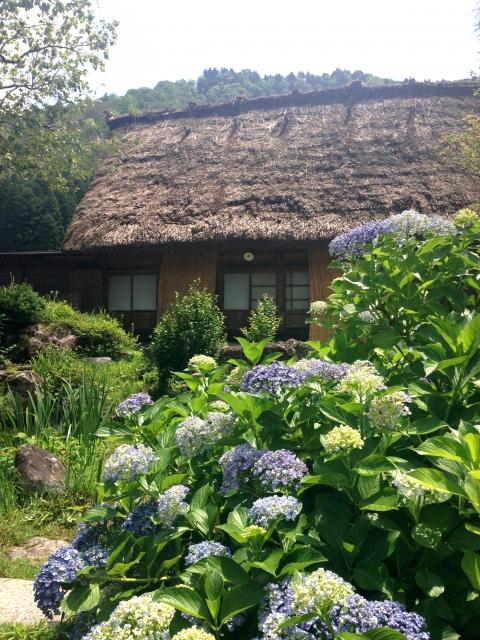 紫陽花と白川郷