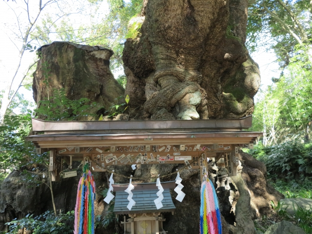 樹齢2000年の大クスノキ
